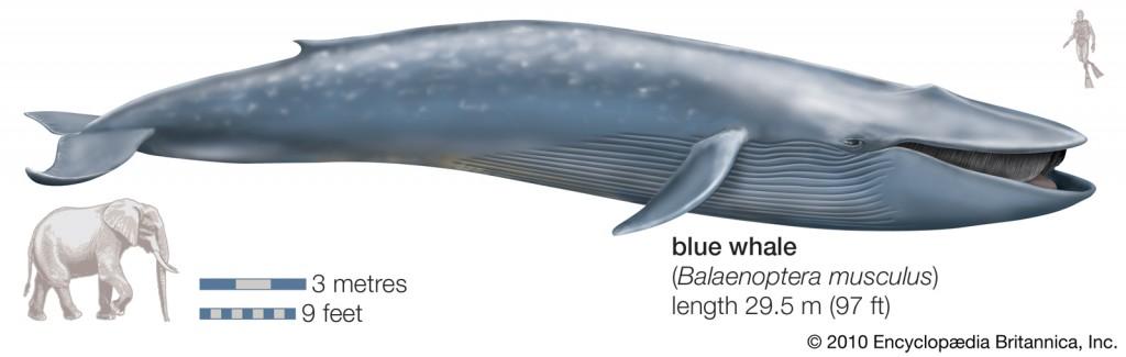 blue-whale1
