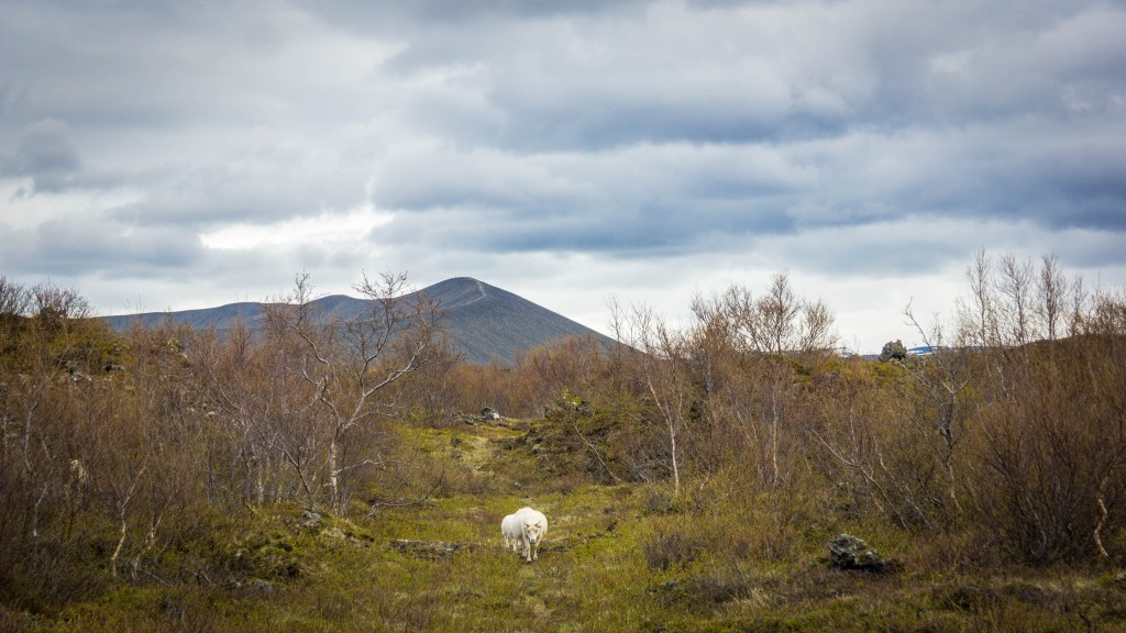 two-lonely-sheep-1